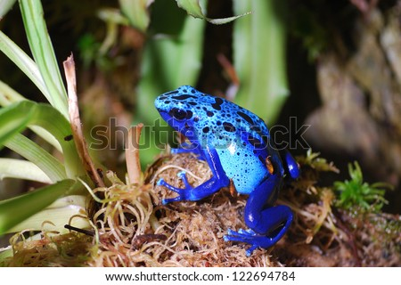 Colorful blue poison dart frog in terrarium. Dendrobates azureus - stock photo