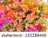Colorful Bougainvilleas - stock photo