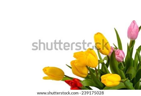 Colorful bouquet of fresh spring tulip flowers isolated on white background.