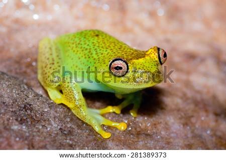 Colorful bright-colored frog found in Canaima National Park, on top of the Akopan Tepuy