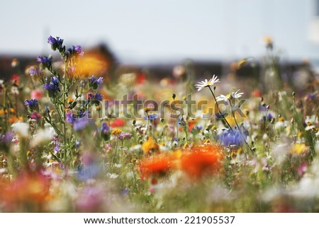 colorful bright meadow flowers in field