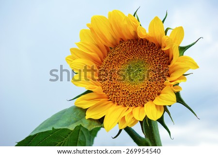 Colorful bright yellow sunflower close-up. Shallow depth of field. - stock photo