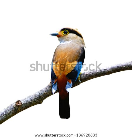 Colorful Broadbill bird, female Silver-breasted Broadbill (Serilophus lunatus),  back profile, with the green background, isolated on a white background