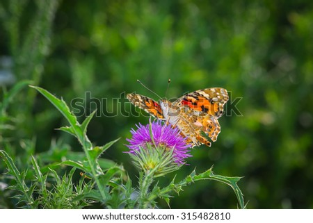 Colorful butterfly collecting pollen on a flowers - stock photo