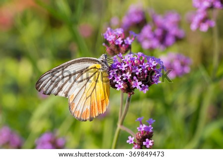 Colorful butterfly on Verbena bonariensis flower