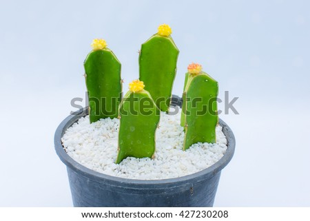 Colorful cactus flower in pink and yellow in flower pot on isolated background