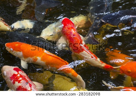 Colorful carp fish in the pond