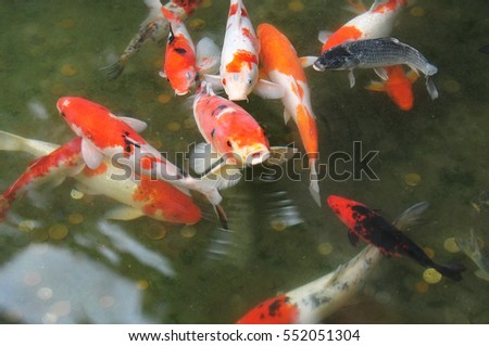 Koi fish stock photo 153487595 shutterstock for Colorful pond fish