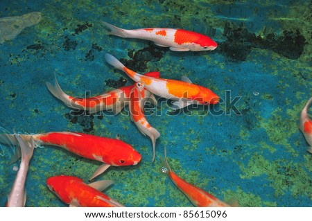 Colorful Carps Swimming In The Pond