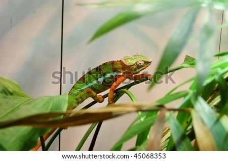 colorful chameleon climbing a branch - stock photo