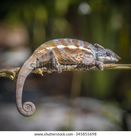 Colorful chameleon of Madagascar, very shallow focus - stock photo