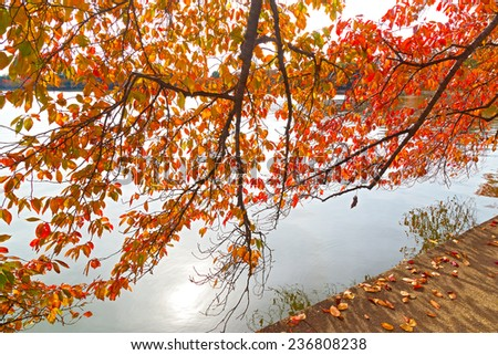 Colorful cherry tree branch over the water of the Tidal Basin in Washington DC. Tree foliage, water, fallen leaves and afternoon sun.