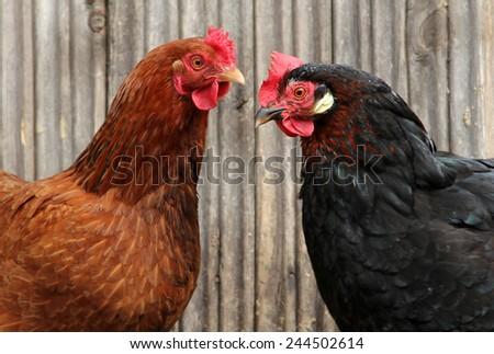 colorful chickens on poultry yard - stock photo