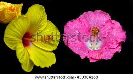colorful Chinese hibiscus (Hibiscus rosa-sinensis) or China rose or Hawaiian hibiscus or shoeblackplant in japan