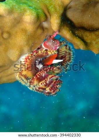 Colorful Christmas Tree Plume Worm in Fire Coral Key West Florida - stock photo