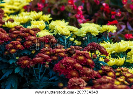 colorful Chrysanthemum flora blooms. shallow DOF, focus on the flower at the centre. - stock photo