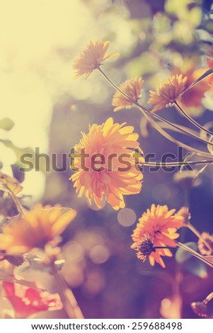 Colorful chrysanthemum flowers/ Beautiful flowers on a bokeh background - stock photo