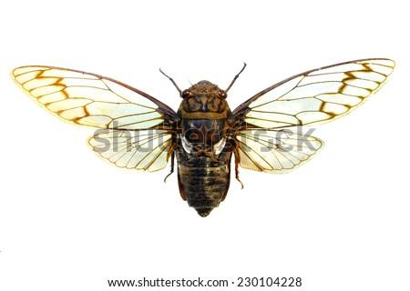 colorful cicada - stock photo
