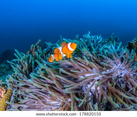 Colorful Clownfish around their host anemone in blue water - stock photo