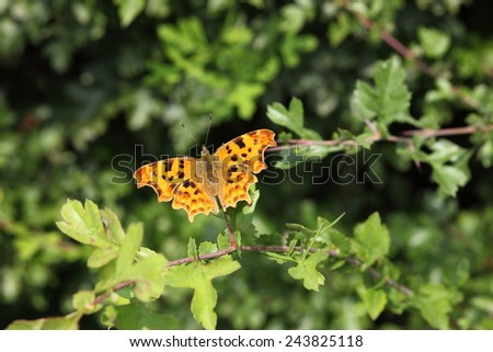Colorful Comma butterfly on green leaf background - stock photo