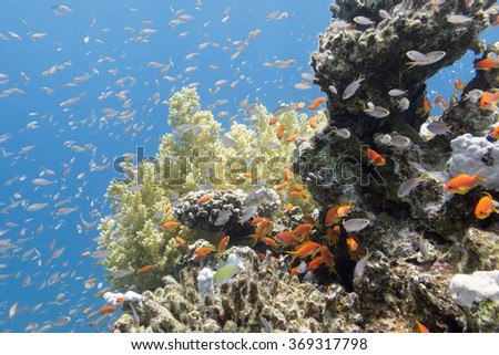 colorful coral reef with exotic fishes Anthias at the bottom of tropical sea, underwater - stock photo