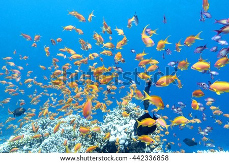 colorful coral reef with shoal of fishes scalefin anthias in tropical sea, underwater - stock photo