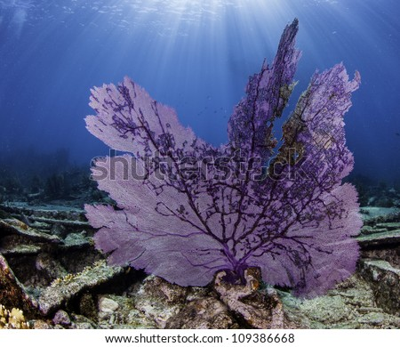 Colorful coral sea fan with blue water background in Key Largo, Florida. - stock photo