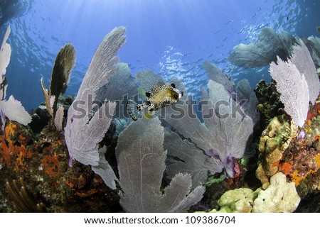 Colorful coral sea fans with blue water background in Key Largo, Florida. - stock photo