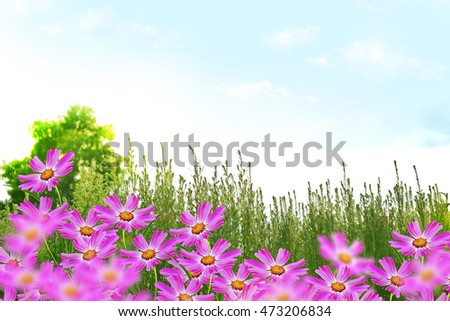 colorful cosmos flowers on a background summer landscape