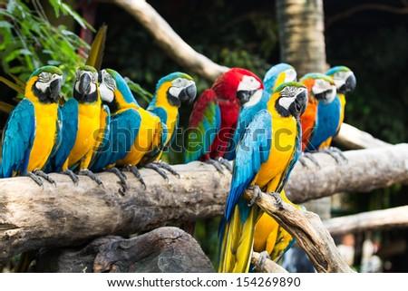 Colorful couple macaws sitting on log - stock photo