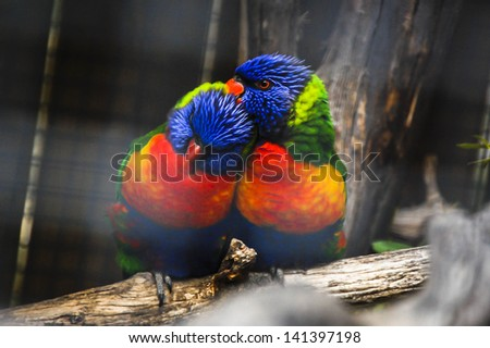 Colorful Couple of Parrots - stock photo