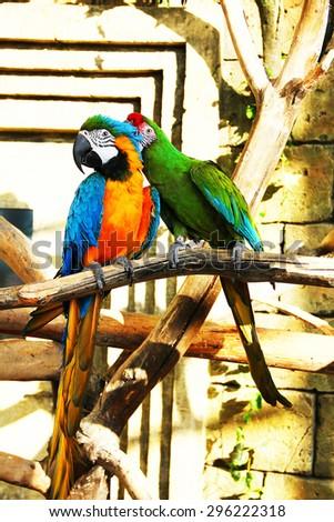 Colorful couple parrots sitting - stock photo