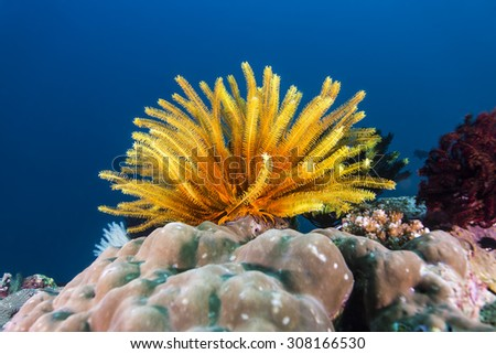 Colorful crinoidea or sea lily in tropical coral reef. - stock photo