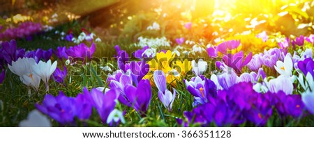 Colorful crocuses in the morning sun - stock photo