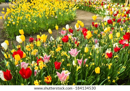 Colorful daffodils and tulips in lots of colors in  park in spring - stock photo