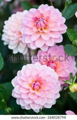 Colorful dahlia flower - stock photo
