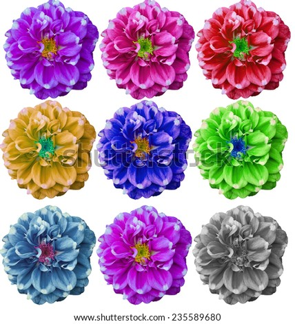 Colorful Dahlia flower in white background with clipping path - stock photo