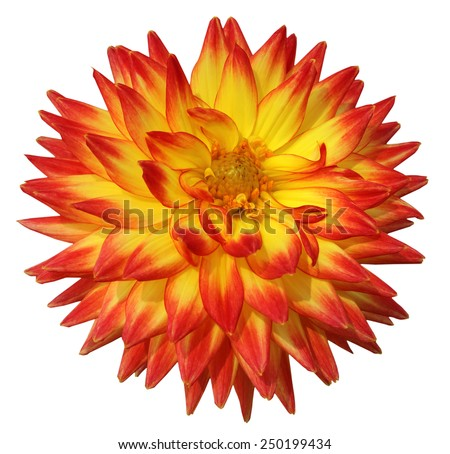 Colorful dahlia isolated on black background.