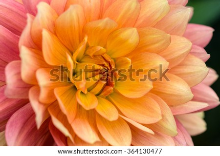 Colorful dahlia petals macro, floral abstract background. Shallow DOF.