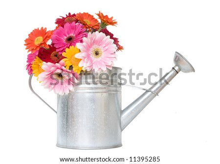 colorful daisies in metal watering can - white isolation - stock photo