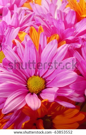 Colorful Daisies Vibrant pink and orange daisy blooms. Vertical. - stock photo