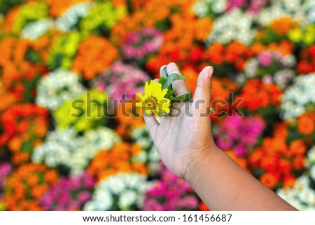 Colorful daisy flowers in the garden - in hand