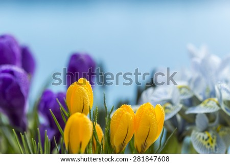 Colorful display of spring flowers growing outdoors in the garden with yellow, purple and white crocus flowers under a cloudy blue sky, close up view - stock photo