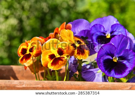Colorful display of vivid orange and purple pansies growing in a terracotta pot outdoors with green leafy trees in the background - stock photo