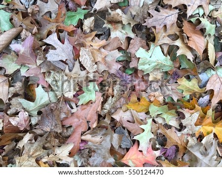 Colorful dry oak leaves