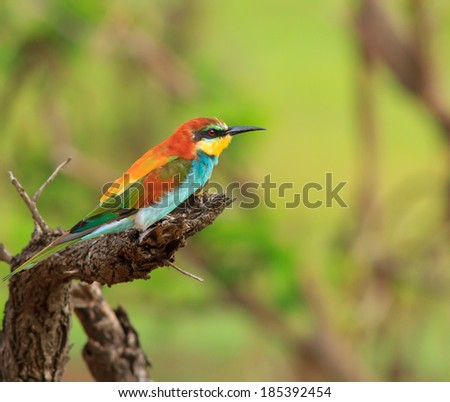 Colorful European Bee-eater bird perched on a dead branch with a green background - stock photo