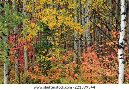 Colorful fall foliage in the Utah mountains, USA. - stock photo
