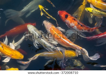 Koi stock photos royalty free images vectors shutterstock for Koi fish colors
