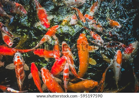 Colorful fancy carp fish koi fish stock photo 595197590 for Koi meaning in english