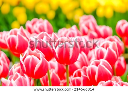 colorful field of tulips in the morning light - stock photo